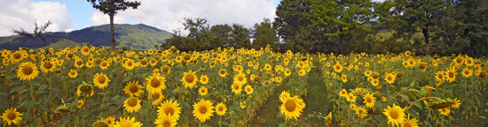 Summer sunflowers in Maremma Tuscany