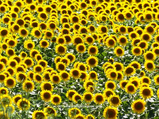 Sunflowers in Tuscany Italy