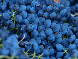 Syrah grapes from Maremma, Italy