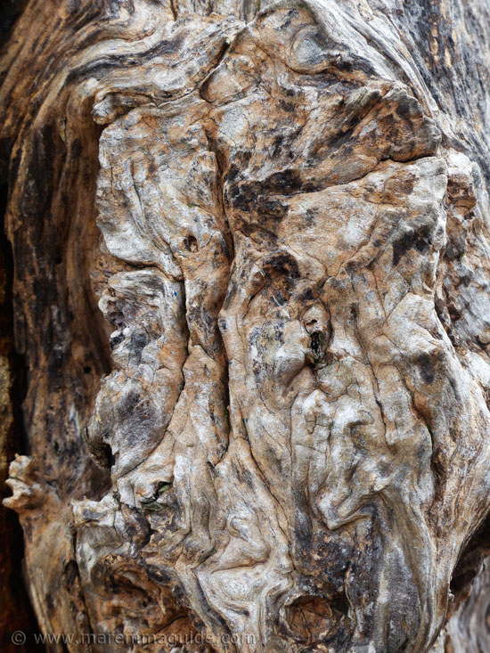Ancient olive tree in Tuscany: trunk detail.