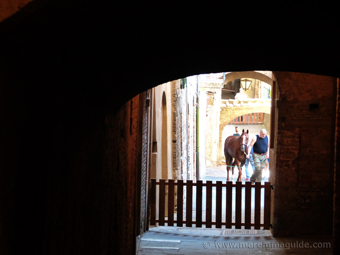 Deep in Contrada territiry a Palio di Siena horse being walked in the stables just before the race.