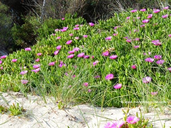 Tuscany Mediterranean beach flowers: Torre Mozza Maremma