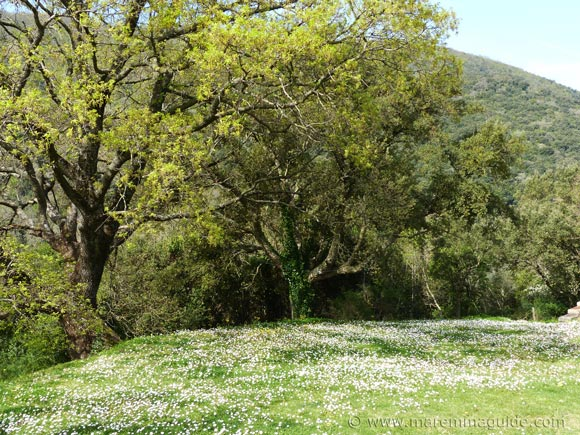 Carpet of daisies and oak trees in spring in Tuscany.