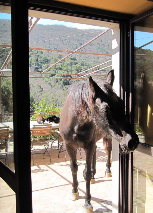 Tuscany horse saying hello in the farmhouse kitchen doorway.