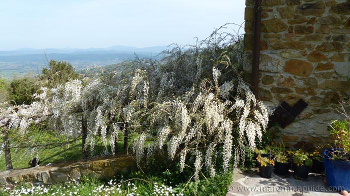 White wisteria in full bloom in Tuscany in spring..