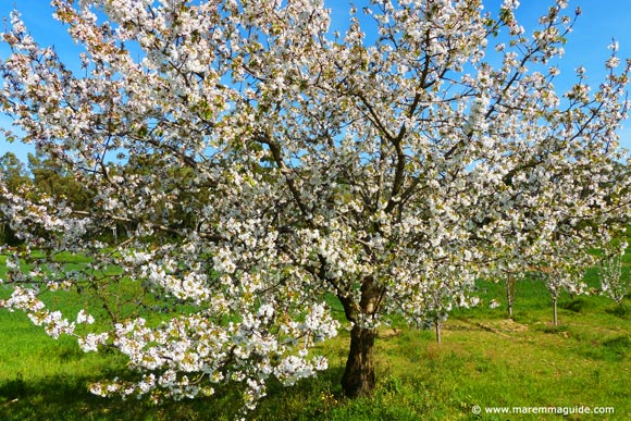Cheery tree in bloom in Tuscany April in Maremma
