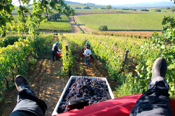 Tuscany grape harvest month: September