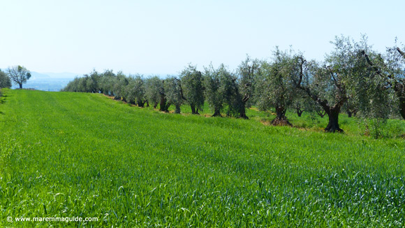 Maremma Tuscany olive grove in spring