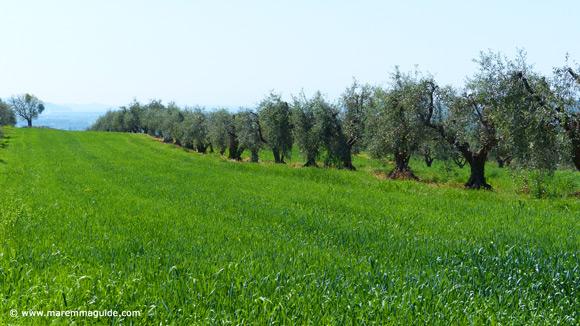 Maremma Tuscany olive grove in spring