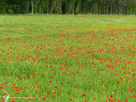 Poppies in Tuscany blooming early May in Maremma