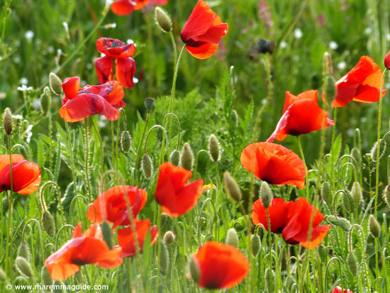 Tuscany poppies in the spring