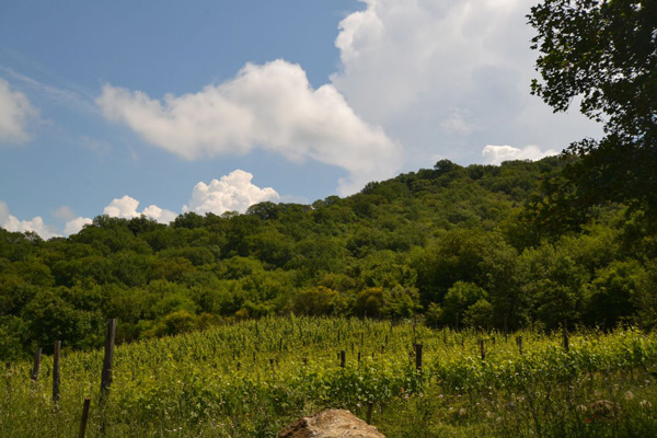 Vineyard for sale in Tuscany: Scansano