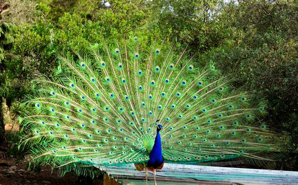 Tuscany wine estate peacock display