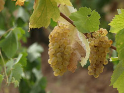 Vermention grapes