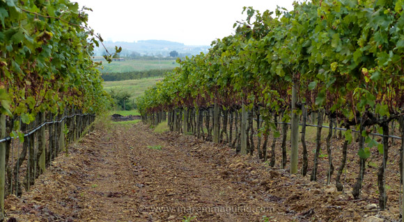 Vineyard in Maremma: Carrareccia in the Monteregio di Massa Marittima wine region Italy