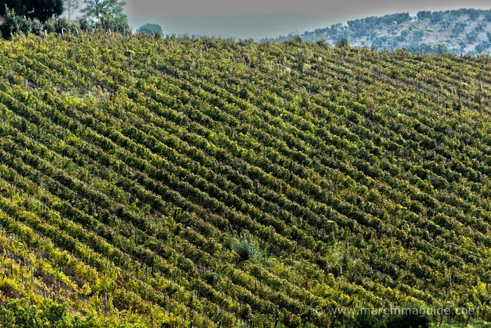 Morellino di Scansano vineyard and winery in Maremma Tuscany
