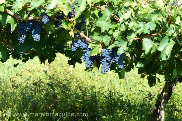 Tuscany vineyard in Maremma Italy