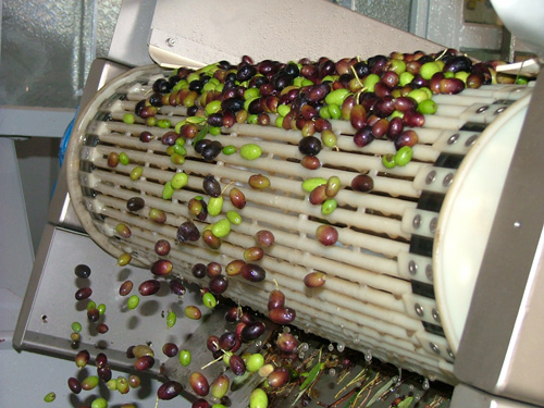 The frangitura for separating the flesh of the olives from the stones