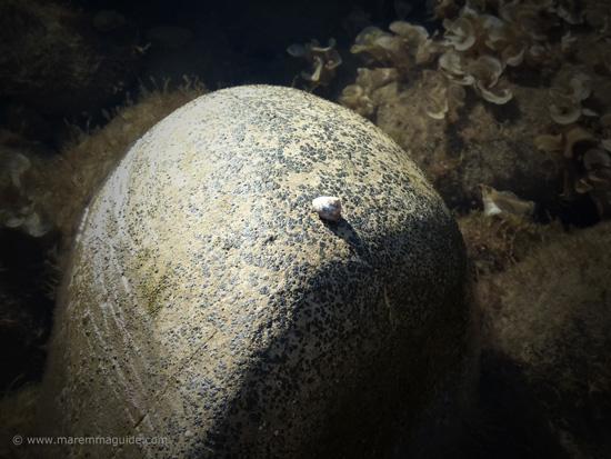 Whelk on a Punta Ala beach Tuscany