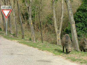 Wild Boar walking along the roadside in Montioni