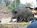 Adult Boar