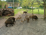 Sounder of Wild Boar in Maremma, Italy