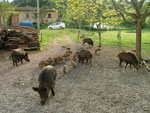 A sounder of Wild Boar in Maremma, Italy
