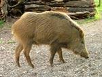 Adult Italian Wild Boar - Sus scrofa majori