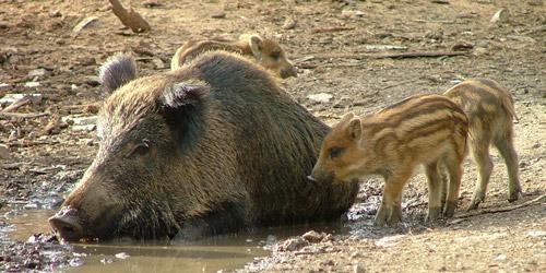 Wild Boar Pictures: Maremma