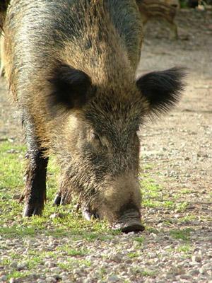 A Maremma wild boar
