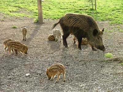 Wild boar piglets and sow in Maremma Italy