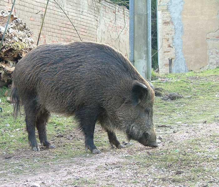 Adult Male Wild Boar
