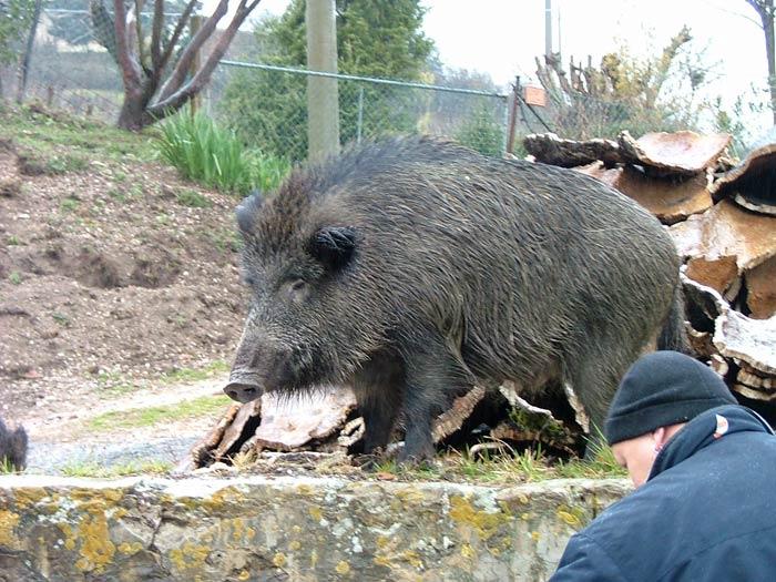 An Adult Wild Boar: Sus scrofa majori