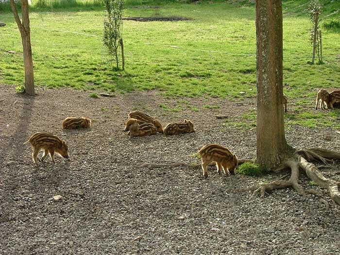Wild Boar Piglets in Maremma, Italy
