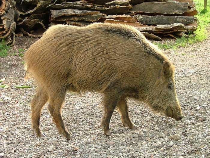 An Adult Italian Wild Boar: Sus scrofa majori