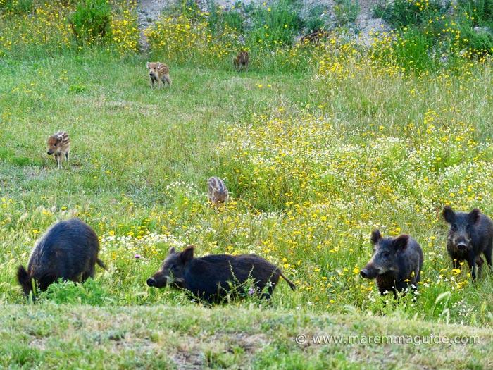 Wild boar in Tuscany Italy