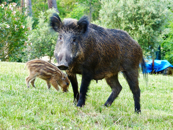 Wild boar in Tuscany: female wild boar and piglet