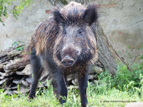 Wild boar image taken in Maremma Tuscany
