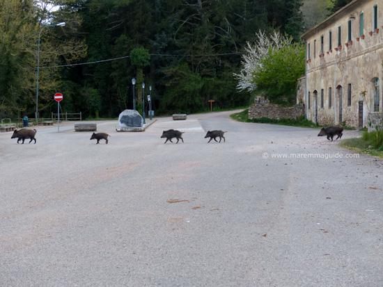 Wild boar in Montioni, Maremma Tuscany
