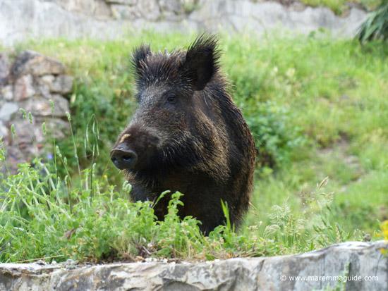 A wild boar in Maremma