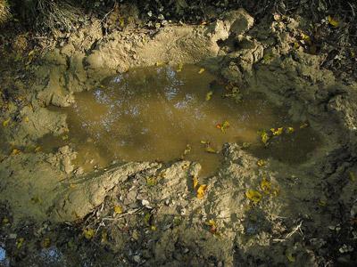 Wild Boar Mud Pool