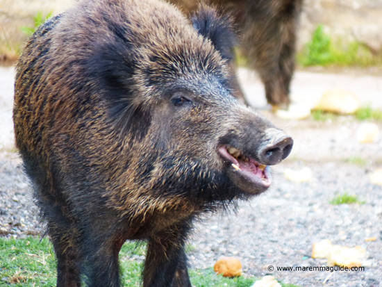 Wild boar photo: snout and muzzle Maremma Tuscany Italy