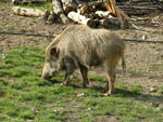 Wild Boar in Montioni, Maremma