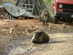 Wild Boar Sow and Piglets