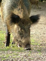 Wild Boar sow - Sus scrofa majori
