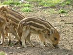 Wild Pig Piglets