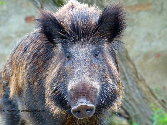 Wild boar pictures: male boar head taken in Montioni Maremma Tuscany