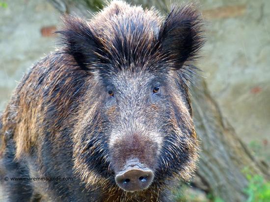 Wild boar pictures: male boar head taken in Montioni Maremma Tuscany