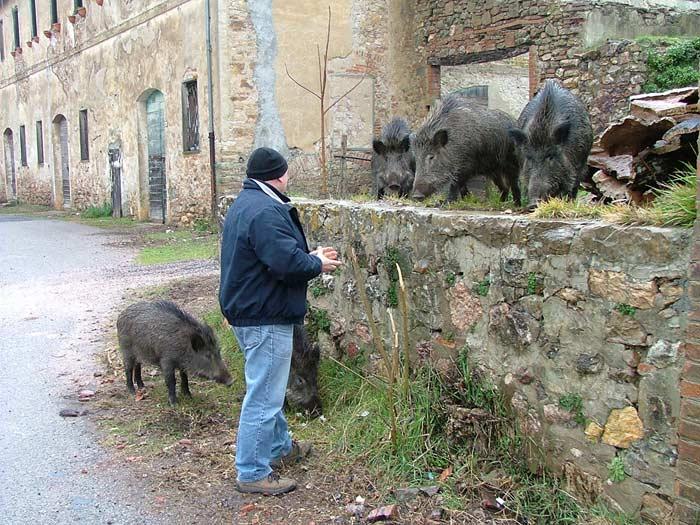Wild Boars in Montioni, Maremma