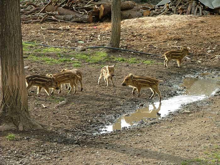Wild Boar Piglets in April